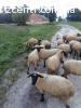 Барани, вівці, ягнята, овцы соффолк. Продаж баранів, овець