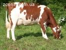 Домашнее коровье молоко,творог, сливка