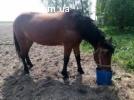 Кобила, породиста, украинская верховая, ездовая, лошадь