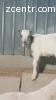 Коза ламанчи