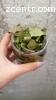 Лечебные травы. Лист грецкого ореха сушеный.