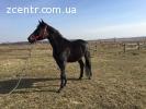 Лошадь українська верхова