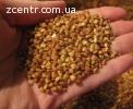 Насіння Гречки ФЛОРІДА Канадський трансгенний сорт,семена ГР