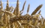 Насіння озимої пшениці НИВА ОДЕСЬКА еліта