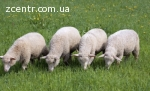 Овцы, Бараны , меринос