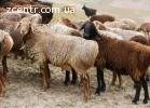 Овцы беременные, порода немецкий Мериноланд