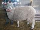 Овцы меринос, ярки суффолк, ягнята