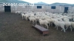 Овцы на экспорт, Романовские, Меринос