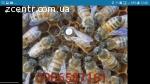 Пчеломатки карника,бакфаст,итальянка.