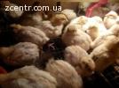 Перепелиные инкубационные яйца, перепела любых возрастов
