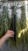 Полынь сухая. Лечебные травы. От варикоза
