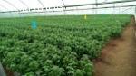 Продам базилик зеленый