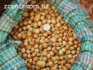 Продам фундук, лісовий горіх, ліщина (лещина, лесной орех)
