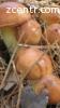 Продам грибы маслята!!!Свежие или если надо консервированые
