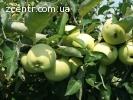 Продам яблоки Папировка