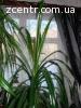 Продам комнатные цветы панданус (ложная пальма), самовывоз.
