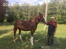Продам коня (кобила) спокійна торг