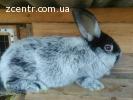 Продам кроликов Большое Светлое Серебро (БСС).