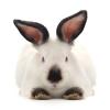 Продаю молодняк кролів каліфорнійців