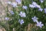 Продам лікарські рослини з карпат