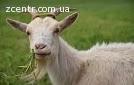 Продам мясо коз
