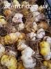 Продам оптом луковицы лилий разных сортов с Нидерландов.