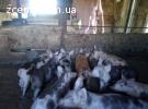 Продам поросят поросята свинки кнурчики петрен + дюрок на пл