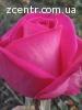 Продам саженцы роз ЛЕТОМ -Осенью-Весной оптом .кусты роз