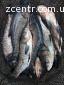 Продам свіжу річкову рибу оптом