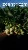 Расада, саженцы клубники Альба ( саджанці, розсада полуниці)