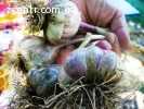 Семена чеснока (воздушка) , Однозубка чеснока , Чеснок прода