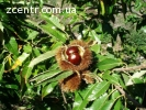 Семена дерева каштана съедобного (посевного)