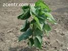 Семена фисташки орехи для сеянцев и саженцев, горіх насіння