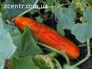 Семена красного огурца.