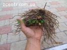 СПАРЖА, корень саженцы 4-х летней спаржи