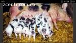 Свиньи породы ПЕТРЕН. Поросята (поросятка) породи ПЕТРЕН.