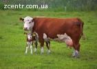 Телята корови