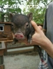 Вьетнамские поросята, свиньи
