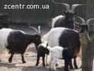 Валлийские козы