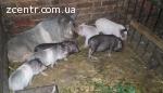 Вьетнамские свиньи, поросята свині, В'єтнамські Вьєтнамські