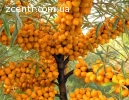 Ягоды вишни и облепихи