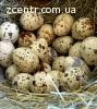 Яйца столовые перепелиные, домашние, пищевые