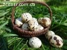 Яйцо перепелиное свежее
